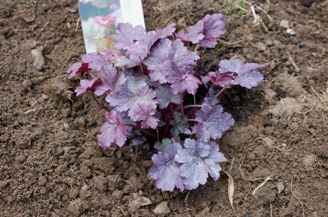 "Heuchera ""Midnight Rose"""