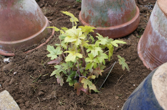 "Heuchera ""Alabama Sunrise"""