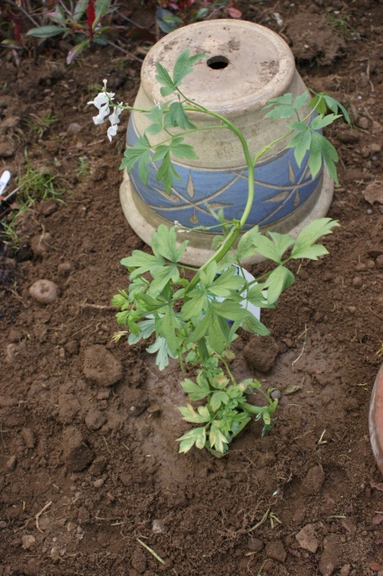A white Dicentra - reduced as its main stem was broken