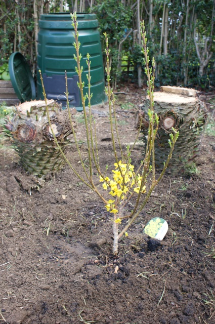 A half-price forsythia (the compost bin looks so lovely, doesn't it?!)