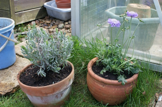 A lavender reduced form £9 to £3, and a lovely scabious