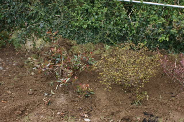 Photinia and azalea
