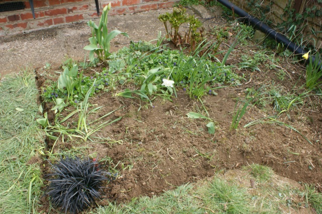 The lilyturf in its new spot, peony  at back right, violets everywhere