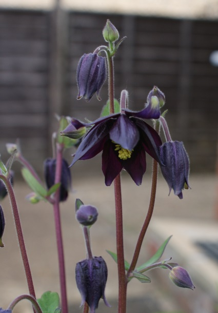 "Aquilegia ""Blue Barlow"" - present from our friend H."