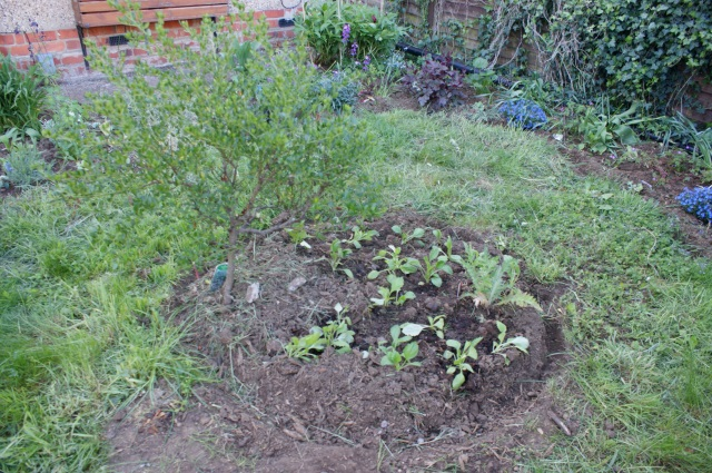 A new central bed, the ceanothus with a poppy and lots of asters