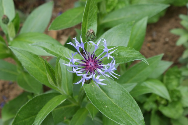 Centaurea - I was just to slow to get a photo with a bumblebee