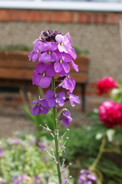 Hardy wallflower