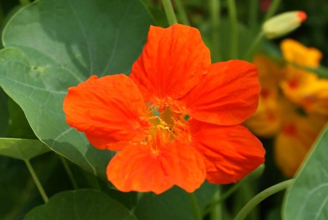 Assorted nasturtiums close up - orange...