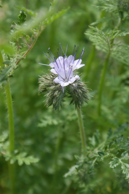 Phacelia, starting to flower and getting lots of insect attention.