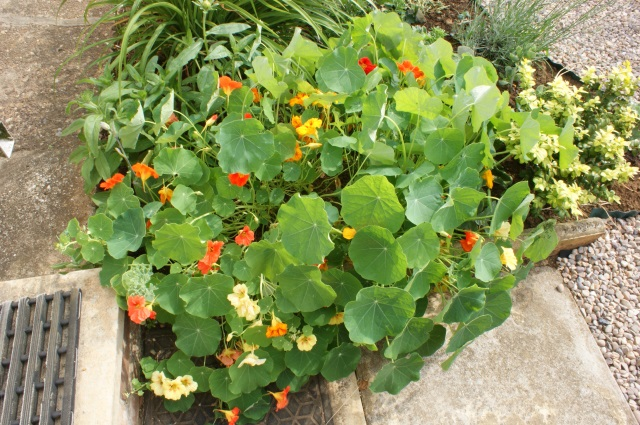 Nasturtiums - after making me wait for what felt like ages, they have burst into flower.