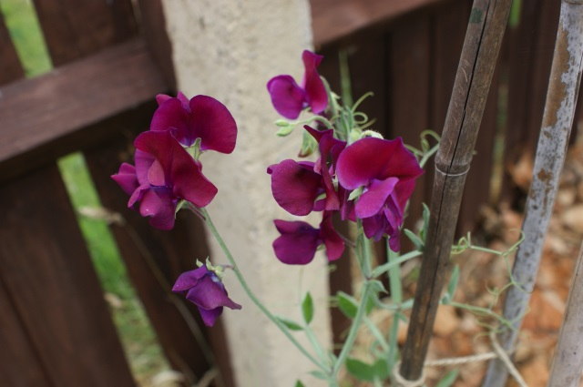 And another sweet pea