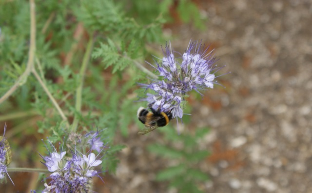 Phacelia - provided specially for the bees, so I'd be disappointed if it wasn't covered in them (it is, all the time)