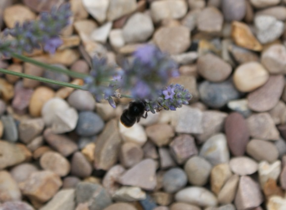 And another bee, on the lavender!