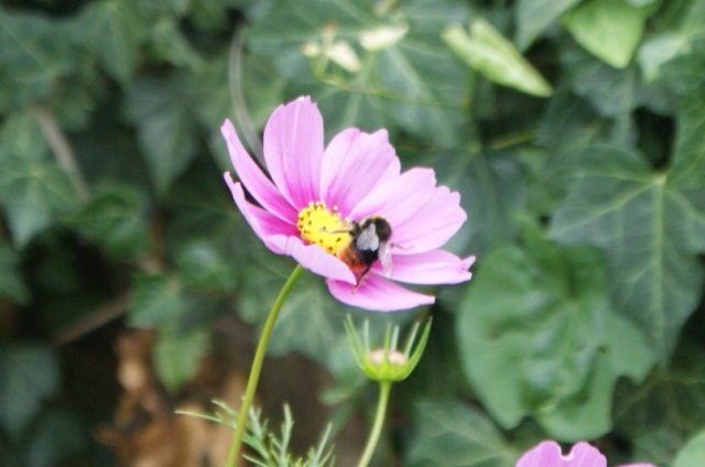 Cosmos - and a bee!