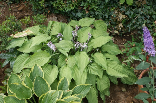 Hosta flowering away (there's a bee in there somewhere, I could hear him)