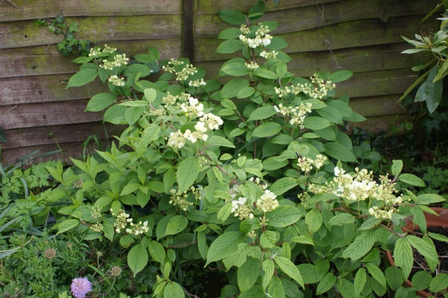 Viburnum (this was my £30 plant for £5 last July - not too shabby!)
