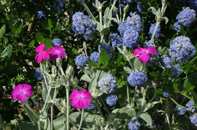 I love this colour combination. The ceanothus won't be in flower for much longer, but while it lasts it's stunning