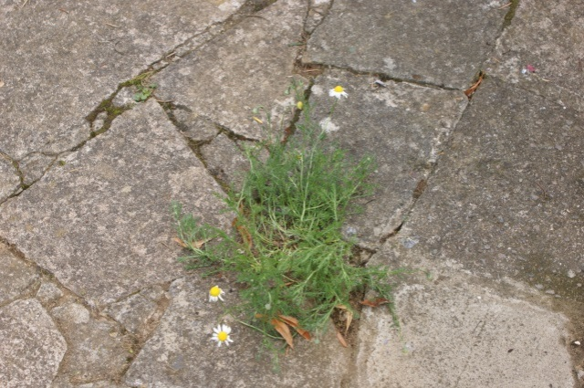 Camomile, making itself at home in the crazy paving. It remains to be seen whether it survives the winter, but in the meantime it's fine.