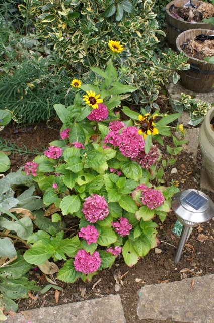 The hydrangea, covered in flowers, and the annual rudbeckia making a lovely contrast
