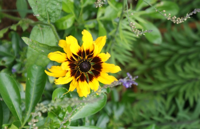 Annual rudbeckias are just coming into flower.