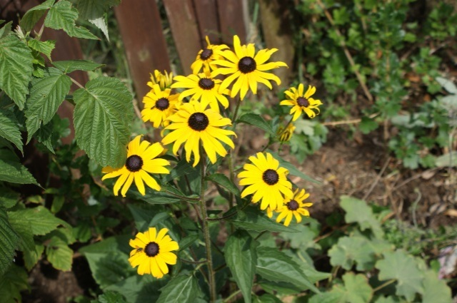 Hardy rudbeckia looking fantastic - hard to believe it was another one of our garden centre bargains.