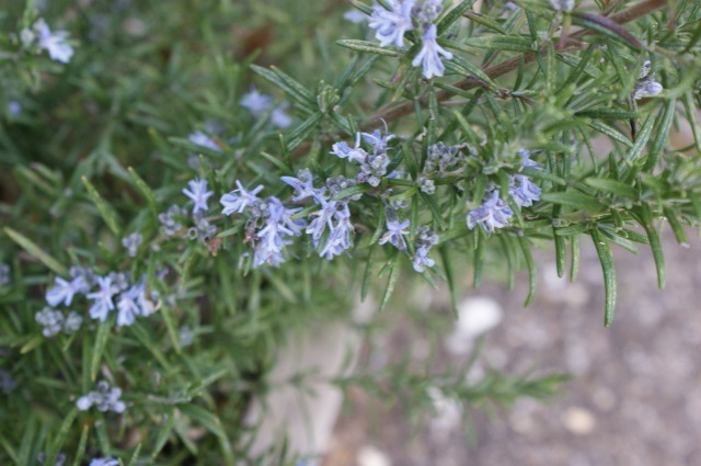 We have a rosemary flowering too, for the first time ever