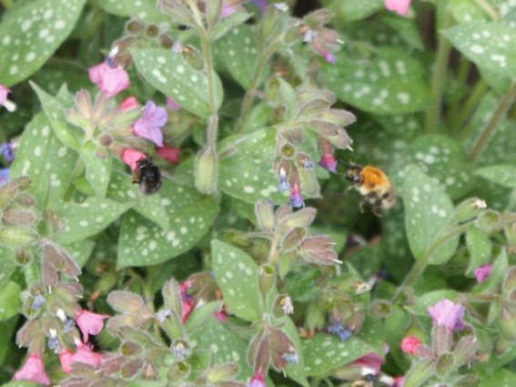 A couple of bees having a very happy time on the pulmonaria