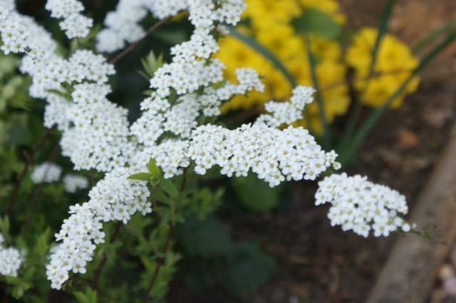 Spirea, with butter-yellow primroses in the background