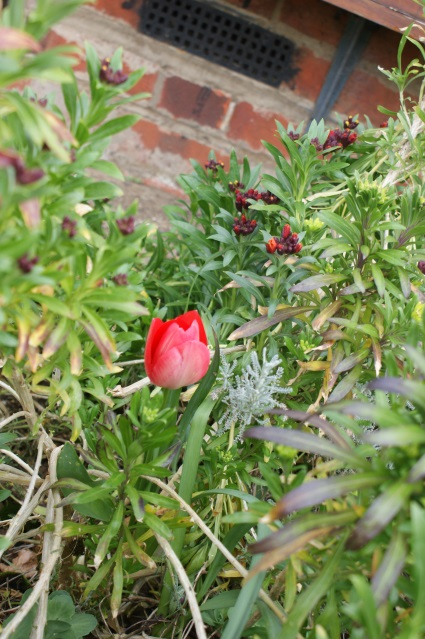 A rather early tulip