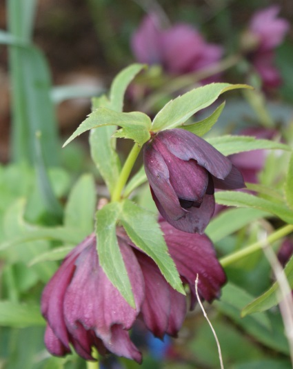 And a double-flowered hellebore - looking lovely