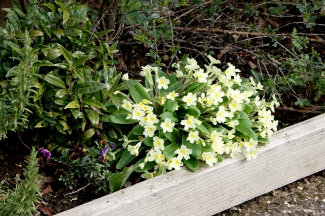 These primroses are actually pale yellow, but the colour doesn't photograph well