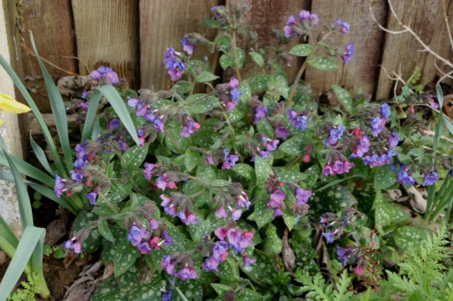 Pulmonaria being lovely