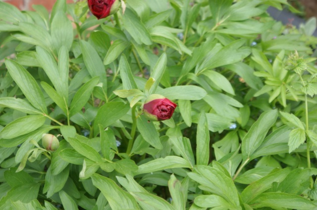 Peonies will be in full bloom very soon