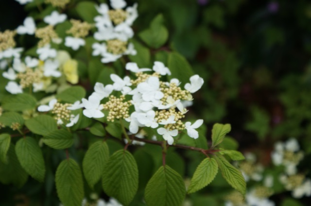 The viburnum finally flowered after making us wait for ages!