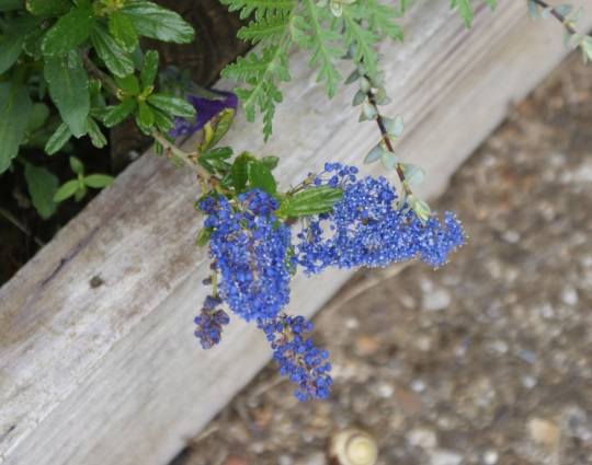 Unlike its relative at the front, this ceanothus is floering - just a day or so ago there was no more than a tinge of colour