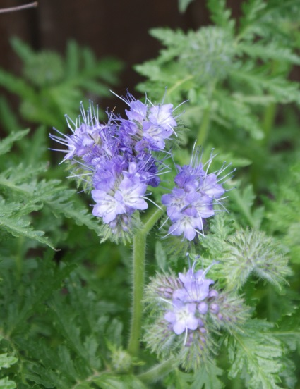 Phacelia doing its thing