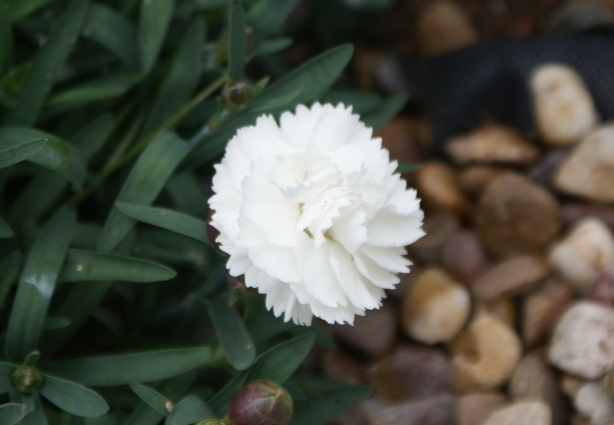 A rather nice dianthus