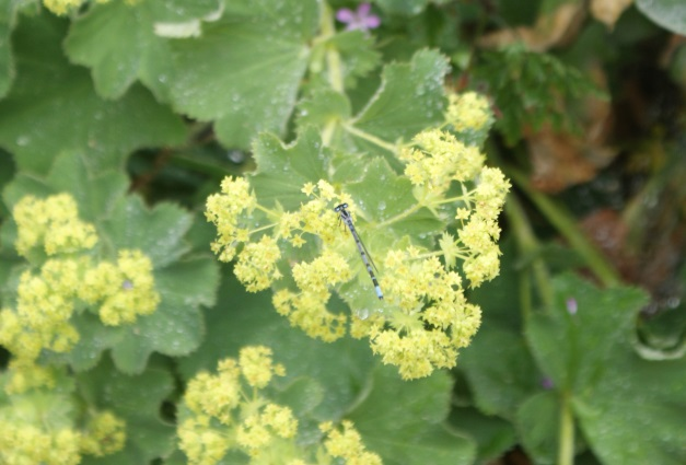 I was just quick enough to get a picture of this damselfly on an alchemilla flower