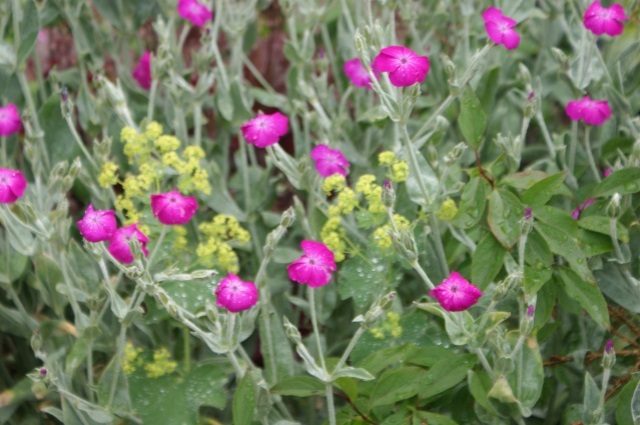 Alchemilla and pink lychnis together - a surprisingly good combination