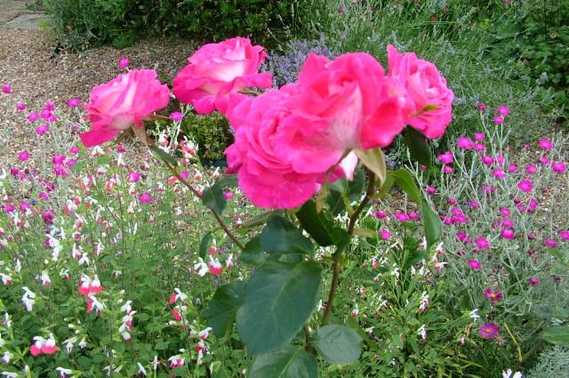 roses 20 jul