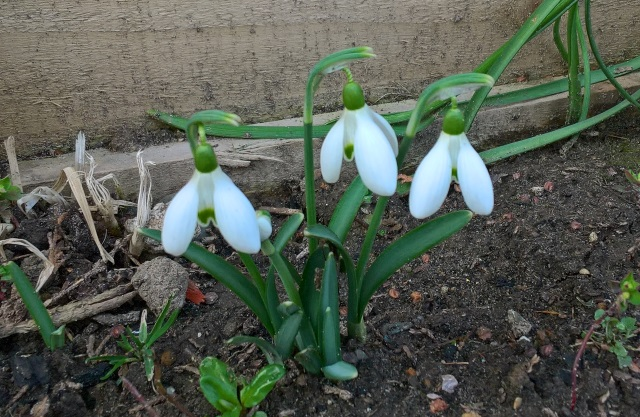 mums-snowdrops-19-feb-2017