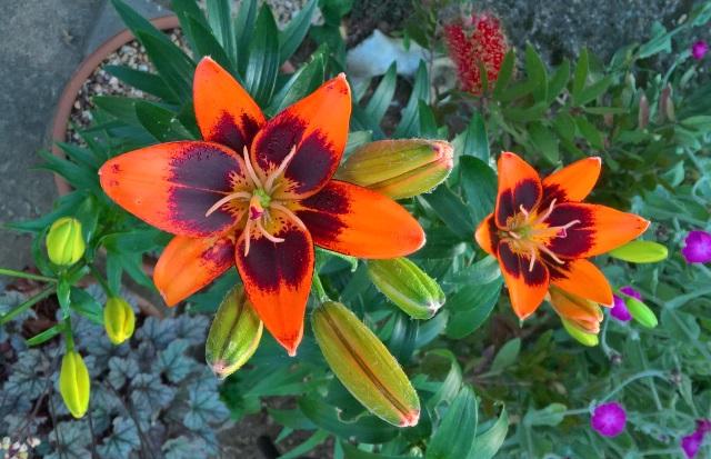 21 june lilies 1