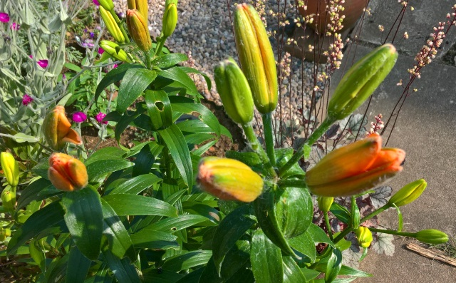 lilies 20th june 2017