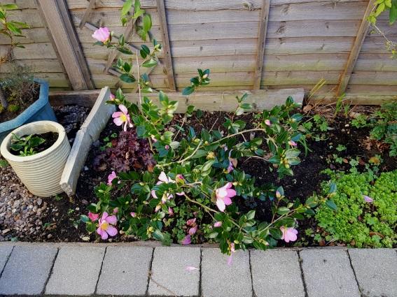 mum's autumn camellia (1)