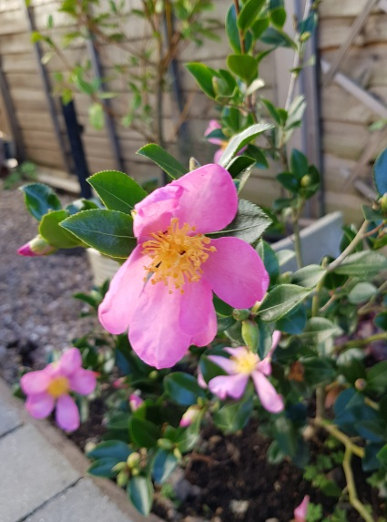 mum's autumn camellia (2)